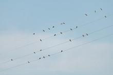 Bande D'oiseaux, Hirondelles, ...