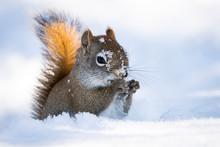 Squirrel At Bird Feeder Eating...