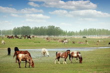 Herd Of Horses And Others Farm...