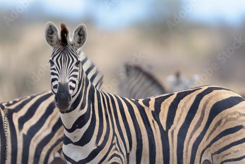 Naklejki zebra   zebra-in-the-wilderness-of-africa