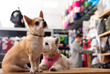 Portrait Of Chihuahua And West Highland Terrier Dogs In A Pet Store