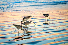 Sandpipers On Beach Feeding, S...