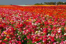 Carlsbad's Famous Flower Fields