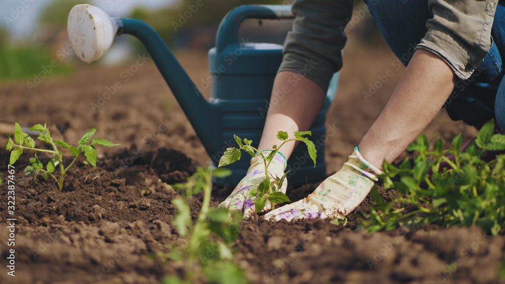 Fototapeta Farmer hands planting to soil tomato seedling in the vegetable garden. On the background a watering can for irrigation. Organic farming and spring gardening concept