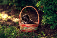 A Little Chihuahua Puppy Is Si...