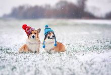 Two Cute Corgi Dog Puppies Are Sitting In The Park In Funny Knitted Warm Hats On A Snowy Winter Day On The Grass