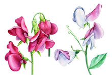 Set Of Flowers, Sweet Peas On A White Background, Watercolor, Botanical Painting, Floral Clipart