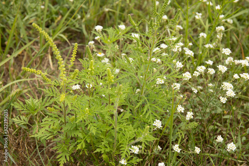 Photo Flowering ragweed plant growing outside, a common allergen