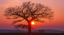 Oak Tree Silhuette With Red Su...