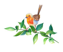 Watercolor Robin Bird Erithacus Rubecula In Realistic Style On White Background.on A Tree Branch With Green Leaves.Spring Botanical Illustration.