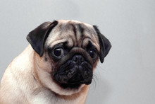 Frightened Guilty Dog Pug Look...