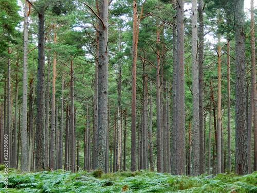 Wald im Cairngorm National Park bei Aviemore, Schottland, Vereinigtes Königreich Wallpaper Mural