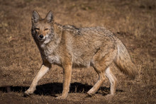 Furry Coyote Stares At Camera ...