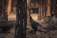 Flock Of Turkey Gobblers Roaming A Pine Forest Looking For Hens To Mate With