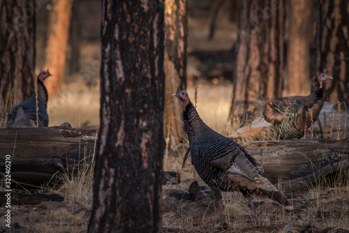 Valokuva Flock of turkey gobblers roaming a pine forest looking for hens to mate with