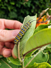 A Monarch Butterfly Caterpilla...