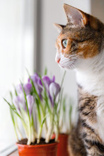 Domestic Tricolor Cat Looking Through The Window While Sitting On A Windowsill, Blurred Blooming Crocus Plant In Flowerpot On Background, Selective Focus. Springtime, Love Pets.