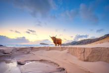 UK, Scotland, Durness, Highland Cattle Bull Standing On Sandy Beach