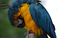Blue And Yellow Or Gold Macaw ...
