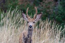 Mule Deer Fawn In The Okanagan...