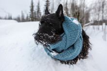 The Frozen Sad Puppy Of Scottish Terrier Sits In Winter Snow Wrapped With A Knitted Blue Scarf On A Background Of Mountains