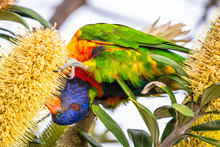 Isolated Rainbow Lorikeet Seek...