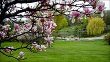 Magnolia Tree Blossom In The B...