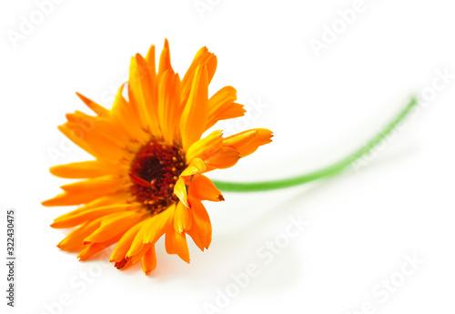 Obraz Calendula flower isolated on a white background. - fototapety do salonu