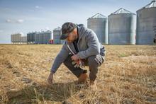 Male Farmer Examining Crop On ...