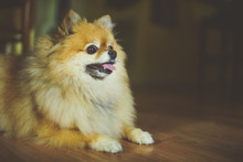 A Pomeranian Dog Smiling Off Camera