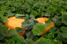 Atlantic Giant Pumpkins In A Vegetable Garden In The Fall
