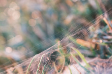 Spider Web On Grass Leaves In ...