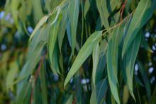 Tropical Leaves Eucalyptus Spring Grow Aromatic. Foliage Bokeh Background