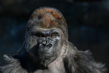 Western Lowland Gorilla (Goril...
