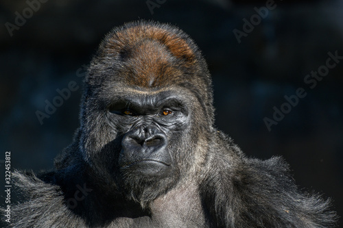 Obraz na plátně western Lowland Gorilla (Gorilla, gorilla, gorilla)