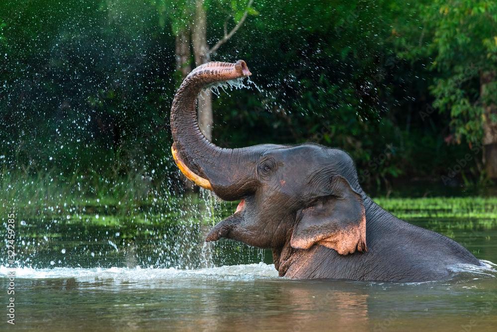 Fototapeta A male Asian elephant is enjoying bathing.