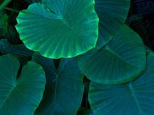 緑の大きな葉