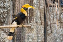 Chiang Mai , Thailand - January, 19, 2020 : Hornbill Bird,Hornbill In A Cage,zoo Animal,protected Animal,Trading Protected Wildlife At Chiang Mai , Thailand