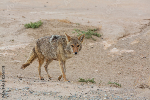 Photo Coyote