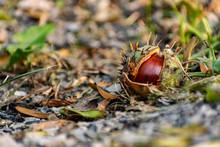 A Half-peeled, Ripe Chestnut O...