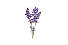 Lavender Herb Vector Illustrat...