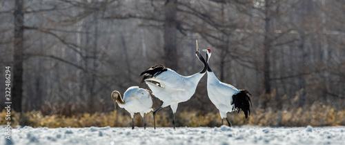 фотография Dancing Cranes