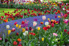 Tulips In Keukenhof Park (Neth...