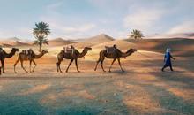 Berbers With Dromadaires In Merzouga Sahara Desert On Morocco