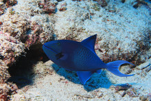 Red-toothed Triggerfish