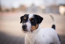 Parson Russell Terrier Portrait - Head