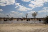 stado słoni przy wodopoju w upałny słoneczny dzień w naturalnym środowisku w afryce