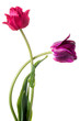 Pair of different colorful tulips isolated on a white background