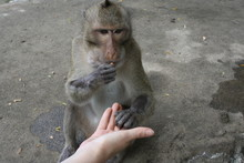 The Monkey Eats From Human Han...