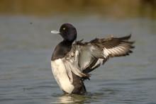 Tufted Duck (Aythya Fuligula) ...